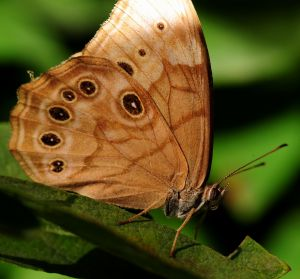 northern-pearly-eye-butterfly-1220528-m