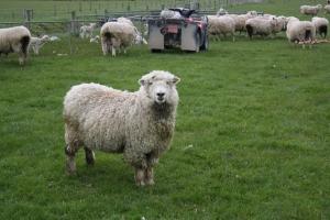 sheep-1343647-m
